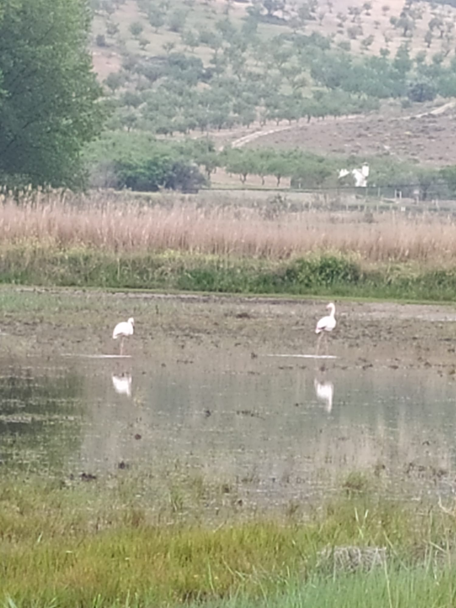 Flamencos en la Laguna de Padul