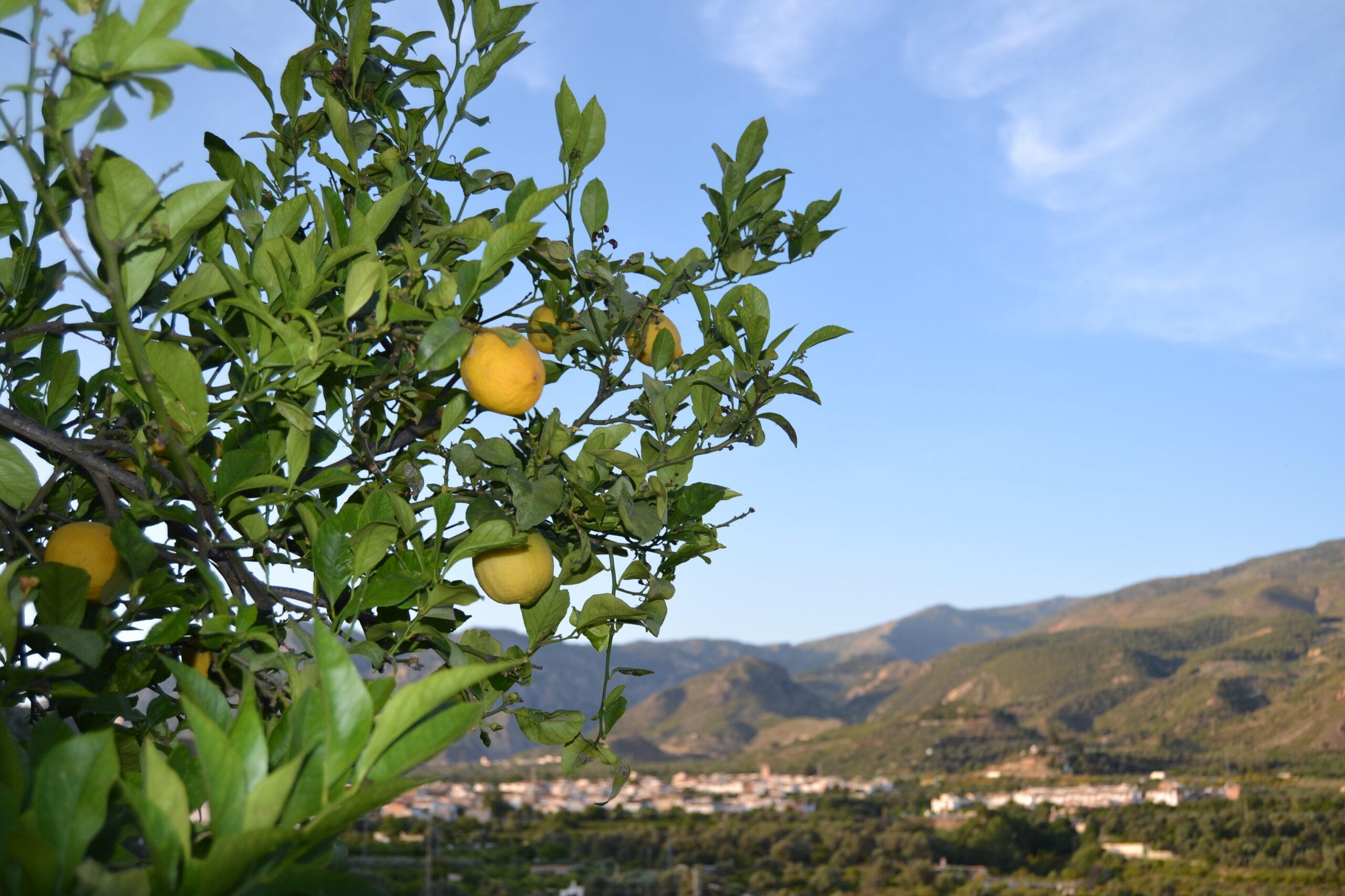 Los limones, en los árboles / D. Q.